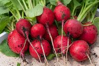 Harvest season, Radish