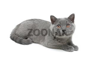 cat breed Scottish Straight on white background