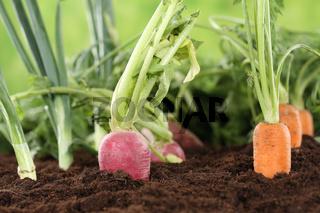Gesunde Ernährung frisches Gemüse im Garten