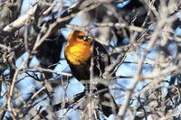 yellow-headed blackbird (Xanthocephalus xanthocephalus) New Mexico USA