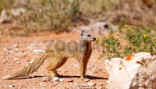 Fuchsmanguste, Kgalagadi-Transfrontier-Nationalpark, Südafrika, (Cynictis penicillata) | yellow mongoose, Kgalagadi Transfrontier National Park, South Africa, (Cynictis penicillata)