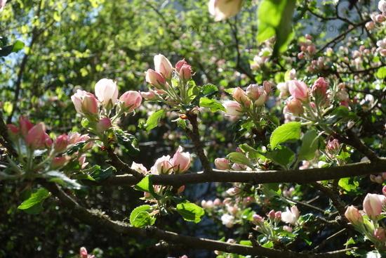 Malus domestica Boskoop, Apfel, Apple
