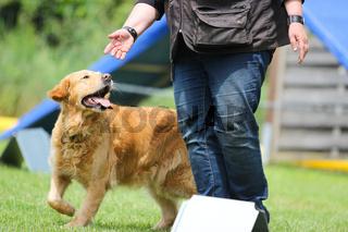 Ein Golden Retriever schaut auf seine Trainerin in der Hundeschule