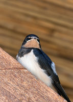 Baby bird of swallow sits on wooden beam