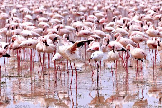 Stolzierender Zwergflamingo am Bogoria See