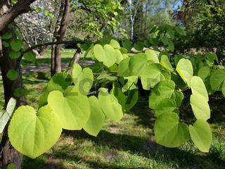 Junge Blätter des Katsurabaums, Cercidiphyllum japonicum, in einem Park