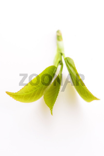 Fresh tea leaves on white