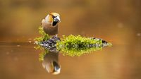 Positive hawfinch male staring on its reflection in water with copy space.