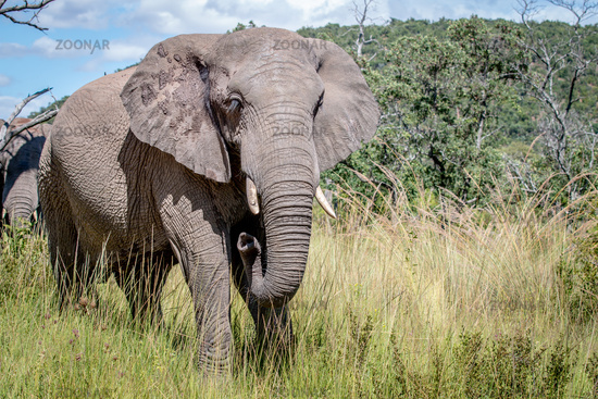 African elephant standing in the grass.