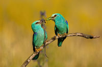 Affectionate pair of european rollers passing a catch to each other in summertime