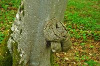 Rotbuche mit Wucherung am Baumstamm