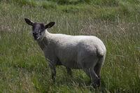 Schaf in der Düne