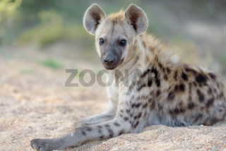 Hyena pup in the wilderness