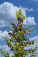 Spruce Tree Top with Cones
