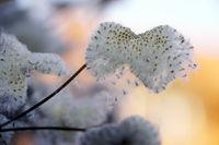 Samen der Herbst-Anemone (Anemone hupehensis)