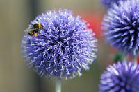 Close-up Blue Echinops Ritro flower with honeybee