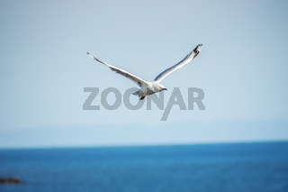 typical seagull over the ocean
