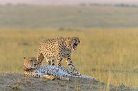 Two cheetahs, Acinonyx jubatus, Maasai Mara National Reserve, Kenya, Africa