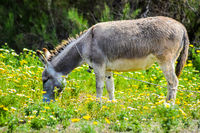 Gray donkey grazing in a meadow