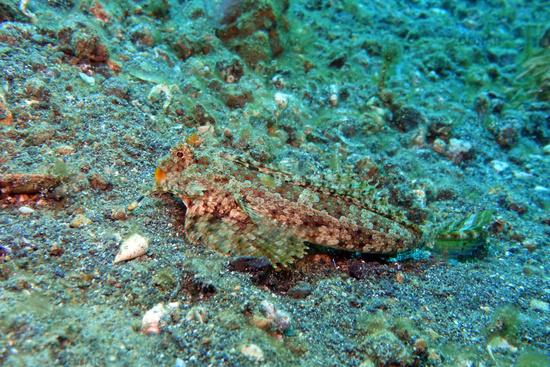 Dactylopus kuiteri - Orange-Schwarzer Dragonet