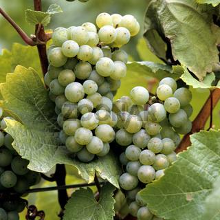 Weintrauben, Ehrenfelser
