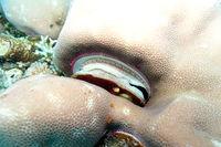Pedum spondyloideum Irisierende Kammmuschel, Korallenmuschel