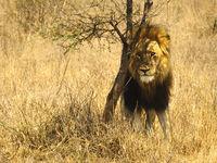 Löwe steht unter Busch
