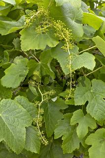 Echte Weinrebe - Vitis vinifera subsp. vinifera