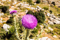 Thistle is the common name for a group of flowering plants characterized by leaves