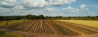 Luftaufnahme mit einer Drohne von bunten Rosenfeldern