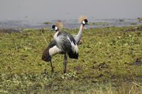 pair of Crowned cranes standing on the swampy shore of the lake