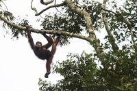 Orang-Utan, Wildlife Centre, Semenggoh Naturreservat, Siburan, Sarawak, Malaysia
