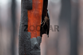 Hairy spider under shedding burnt bark after bush fire