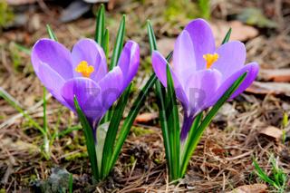 ie ersten Krokusse auf einer Wiese im Frühling