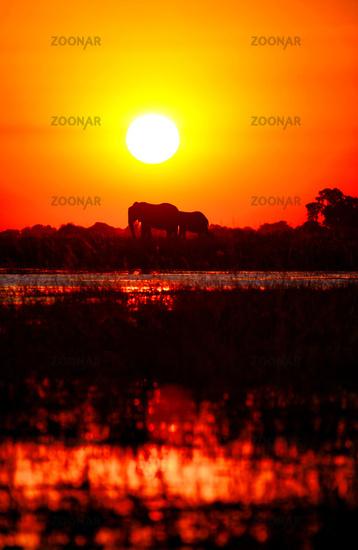 Elefanten im Sonnenuntergang am Chobe, Botswana; Elephants in the sunset at Chobe river, Botswana