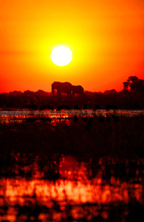 Elefanten im Sonnenuntergang am Chobe, Botswana; Elephants in the sunset at Chobe river, Botswana