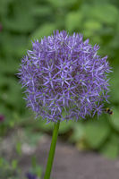 Zierlauch (Allium sp.)
