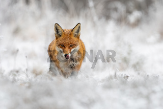 Red fox hunting on meadow in wintertime nature.