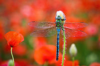 Southern migrant hawker resting on red flourishing flower