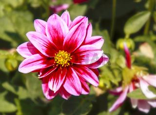 Dahlienblüte, rotweiß, gelbes Herz