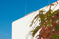 Ivy overgrows a concrete facade with blue sky