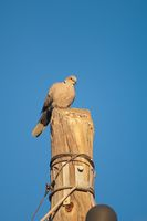 Eurasian collared dove on a wooden post.