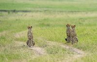 Cheetah Malaika with Cubs, Acinonyx jubatus, Maasai Mara National Reserve, Kenya, Africa