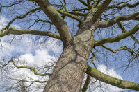 Eichenbaum (Quercus), Winter