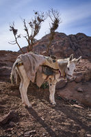 Esel in der Wüste