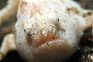 Shaggy Frogfish