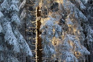 Nadelbaum im Winter