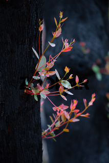 New leaf growth on a burnt tree after bush fire