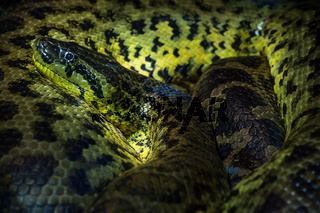 Close up of a Yellow ananaconda rolled up in Haus der Natur, Salzburg