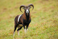 Calm mouflon ram standing on meadow in autumn nature.